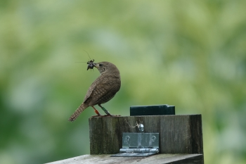 House Wren with Food