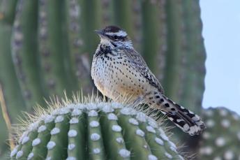 Cactus_Wren_on_a_saguaro_cactus